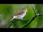 Song Of a Nightingale ~ Bird Song ~ Nightingale